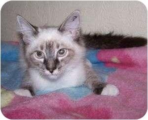 Ragdoll Kitten for adoption in Colorado Springs, Colorado - K-Nilla3