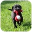 Photo 2 - Labrador Retriever/Boxer Mix Puppy for adoption in Foster, Rhode Island - Leapy