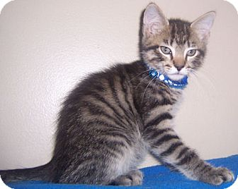 Domestic Shorthair Kitten for adoption in Gray, Tennessee - Logan