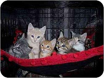 Domestic Longhair Kitten for adoption in Norco, California - Kittens