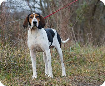 Treeing Walker Coonhound Mix Dog for adoption in MARION, Virginia - Cletis