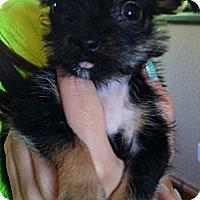 Adopt A Pet :: Wren - tiny chorkie!-songbirds - Phoenix, AZ