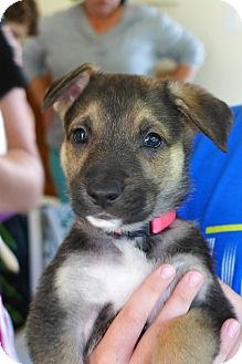 German Shepherd Dog Puppy for adoption in Castro Valley, California - COPPER