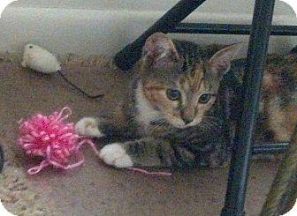 Domestic Shorthair Cat for adoption in Bear, Delaware - Ziva