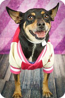 Dachshund/Miniature Pinscher Mix Dog for adoption in Phoenix, Arizona - Carmela