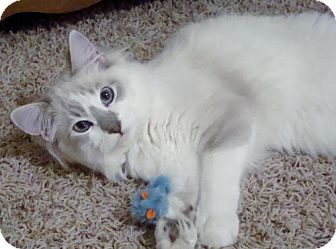 Egyptian Mau Cat for adoption in Winder, Georgia - Timmy and Teddy