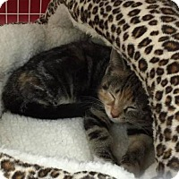 Adopt A Pet :: Phoebe - East Meadow, NY