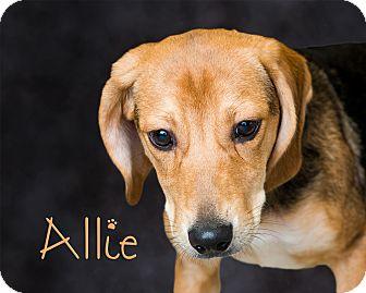 Beagle/Shepherd (Unknown Type) Mix Puppy for adoption in Somerset, Pennsylvania - Allie