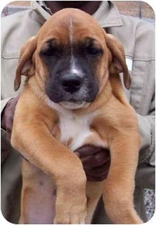 Bloodhound Mix Puppy for adoption in Campbellsville, Kentucky - Maggie