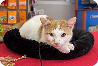 Domestic Shorthair Kitten for adoption in Tallahassee, Florida - Seal