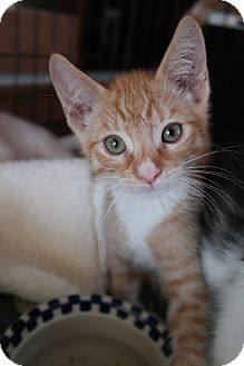 Domestic Shorthair Kitten for adoption in San Pablo, California - ORPHAN 1
