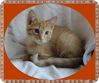 Domestic Shorthair Kitten for adoption in Mt. Prospect, Illinois - Elwood