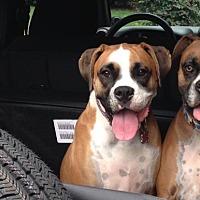 Boxer Dog for adoption in Austin, Texas - Layla