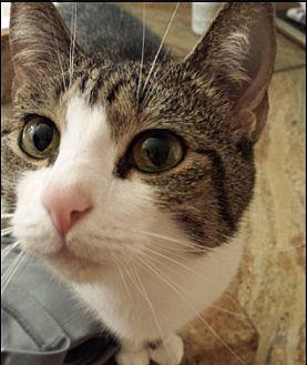 Domestic Shorthair Cat for adoption in Miami, Florida - Bella (304) 785-8840