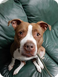 American Staffordshire Terrier Mix Dog for adoption in Long Beach, New York - Robin