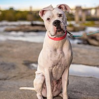 Boxer Dog for adoption in Richmond, Virginia - Pearl