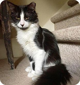 Maine Coon Cat for adoption in Houston, Texas - Benny