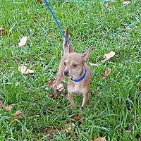 Adopt A Pet :: CHICA - Houston, TX