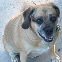 Pug/Beagle Mix Dog for adoption in West Allis, Wisconsin - Buddy