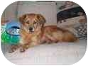 Pomeranian/Golden Retriever Mix Dog for adoption in Chesapeake, Virginia - Emmie