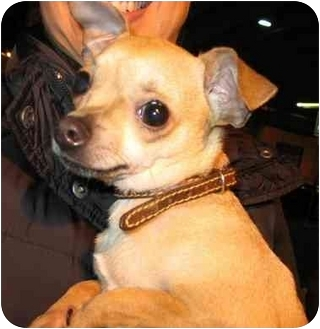 Chihuahua Mix Puppy for adoption in Calgary, Alberta - Minnie