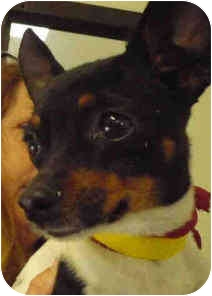Rat Terrier Mix Dog for adoption in San Clemente, California - PEE WEE