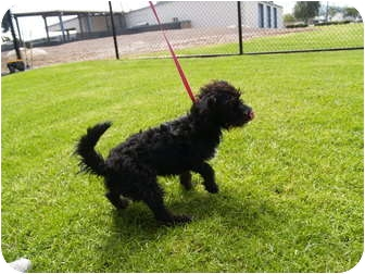 "Schnauzer (Miniature) Mix Dog for adoption in El Cajon, California - Stan (see also ""Ollie"")"