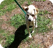 Chihuahua Mix Dog for adoption in St. Petersburg, Florida - Isaac