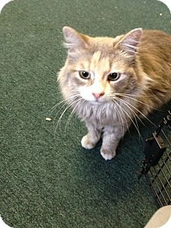 Domestic Longhair Cat for adoption in Fountain Hills, Arizona - NAHLA