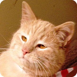 Domestic Shorthair Cat for adoption in western, Minnesota - Alf