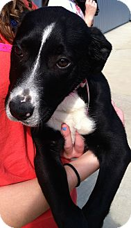 Labrador Retriever/Collie Mix Puppy for adoption in MILWAUKEE, Wisconsin - MARILYN