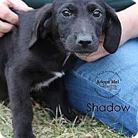 Adopt A Pet :: Shadow - South Jersey, NJ