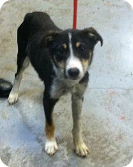 Border Collie Mix Dog for adoption in MARION, Virginia - Hope
