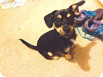 Chihuahua Mix Dog for adoption in Houston, Texas - Alexia