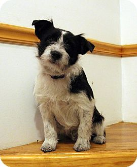 Jack Russell Terrier/Terrier (Unknown Type, Small) Mix Dog for adoption in Broadway, New Jersey - Kaleb