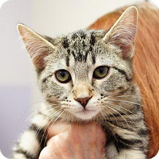 Domestic Shorthair Kitten for adoption in Naperville, Illinois - Gus