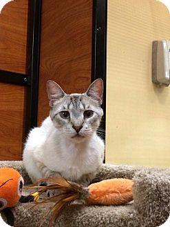 Siamese Cat for adoption in Oakville, Ontario - Sullivan