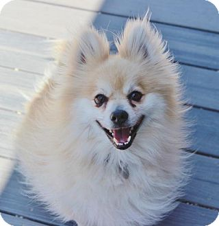 Pomeranian Dog for adoption in Atlanta, Georgia - Kenny