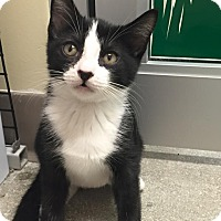 Adopt A Pet :: Ellie (Kitten) - Deerfield Beach, FL