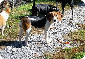 Beagle/Hound (Unknown Type) Mix Dog for adoption in Hazard, Kentucky - Paula