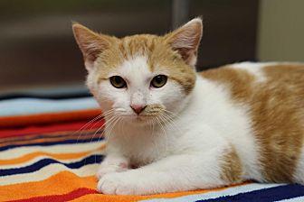 Domestic Shorthair Kitten for adoption in Marietta, Georgia - Doc