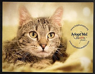 Domestic Shorthair Cat for adoption in Belton, Missouri - Cady