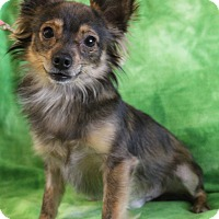 Chihuahua/Papillon Mix Dog for adoption in Staunton, Virginia - Bowie