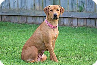 Rhodesian Ridgeback Mix Dog for adoption in Austin, Texas - America