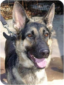 German Shepherd Dog Dog for adoption in Pike Road, Alabama - Sheba