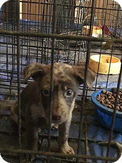 Australian Shepherd Mix Puppy for adoption in Staunton, Virginia - Aussie mix pups