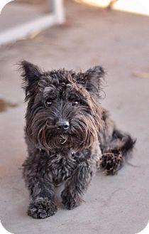 Westie, West Highland White Terrier/Yorkie, Yorkshire Terrier Mix Dog for adoption in Las Vegas, Nevada - Darnell