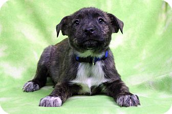 Retriever (Unknown Type) Mix Puppy for adoption in Westminster, Colorado - ROBIN