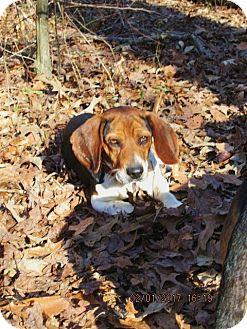 Beagle Dog for adoption in Oswego, New York - LINUS
