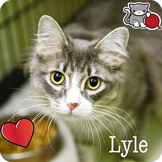 Domestic Mediumhair Cat for adoption in Germantown, Ohio - Lyle